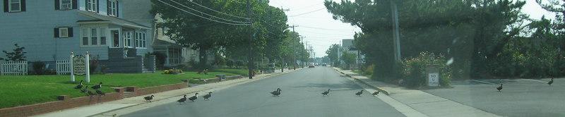 Ducks cross the street in Chincoteague