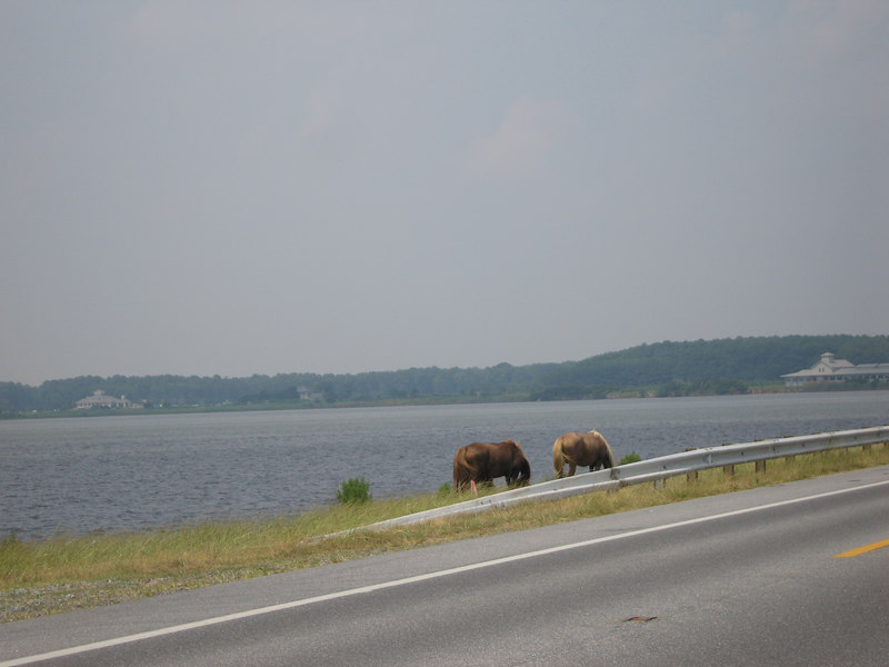 The famous Assateague/Chincoteague wild ponies - by a very scenic guard rail