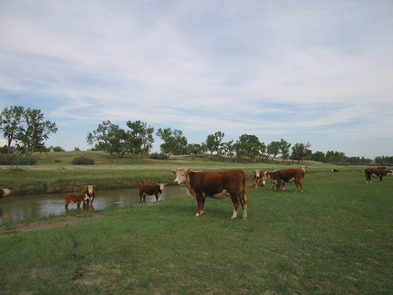 Herefords along the Grand River