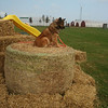 Ginger on top of the kids hay bale climbing display at Summerside, PEI. She appears to have her eye on a flying insect which she likes to catch.