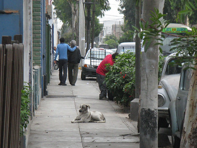 A dog hanging out in Miraflores.