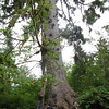 The world's largest Sitka Spruce.