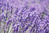 Lavender Farm Sequin, WA
