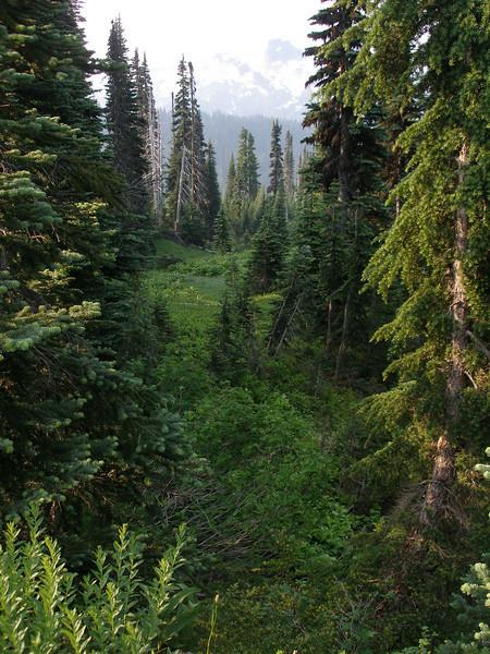 Lush Firs 60-70 feet high