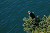 Eagle at Deception Pass WA