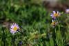 Mountain spring flora