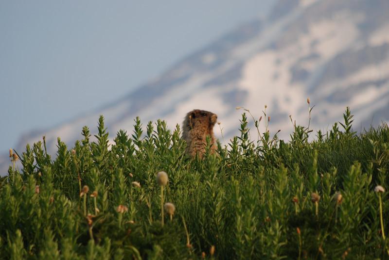 'whistling pig' - marmot