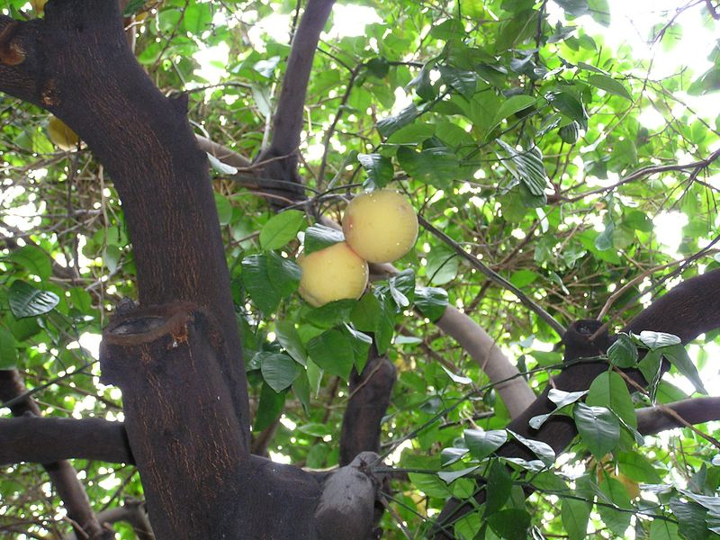 Grapefruit tree at Mojave, our hotel.