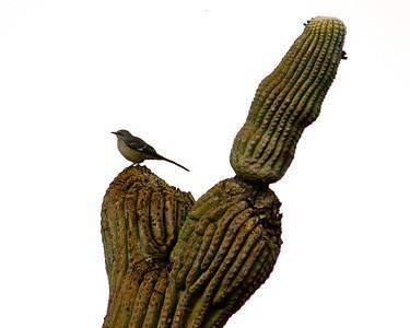 Bird on saguaro cactus