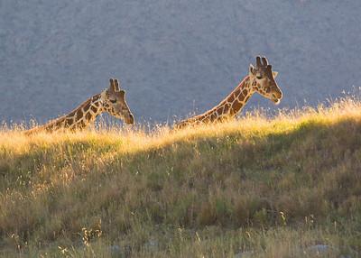 Giraffes suddenly appearing