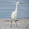 <h2>ever present Egret<h2>