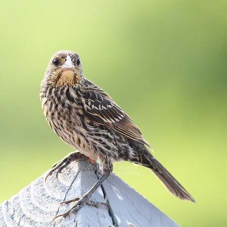 Juvenile Female Red Winged Blackbird