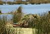 Harvesting totora reeds