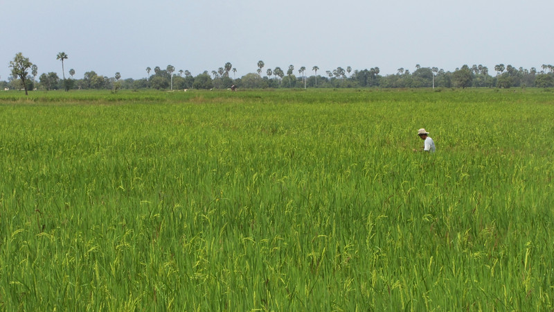 Cambodian rice field near Phnom Penh.
