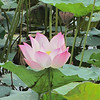 Lotus flower in Cambodia.