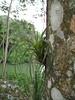 Bromelia on  tree