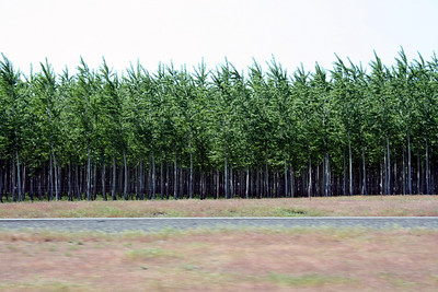 It was odd to see this tree farm. All the trees were all lined up in rows.  I am used to seeing pine tree farms. Never this kind of trees.  It was a huge farm. With trees in all different stages. Not sure what type of trees they were growing.