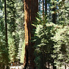 General Sherman - largest tree in the world.