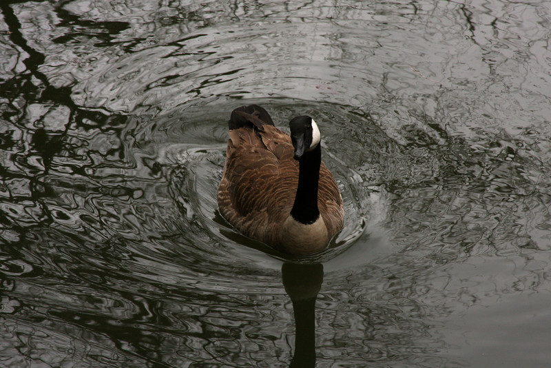 I was standing in the boat house when this goose approached looking for food.