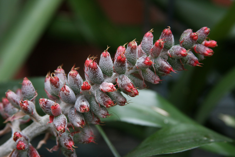 The inflorescence or flower spike from a bromeliad (pineapples are also bromeliads). This one will flower in a few weeks.