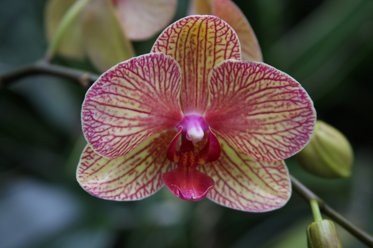 Cream orchid with pink veins.