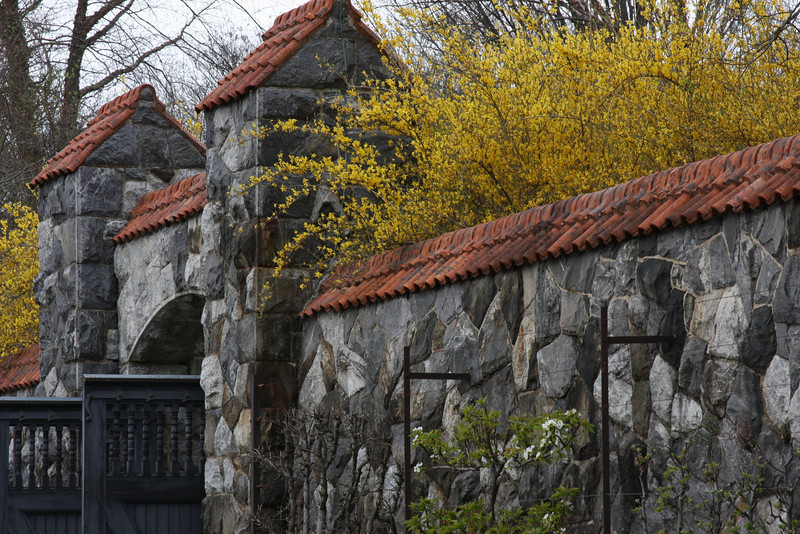 Mom, this picture is for you. Forsythia bushes draped over a gate in the Walled Garden. Forsythia are part of the olive family.