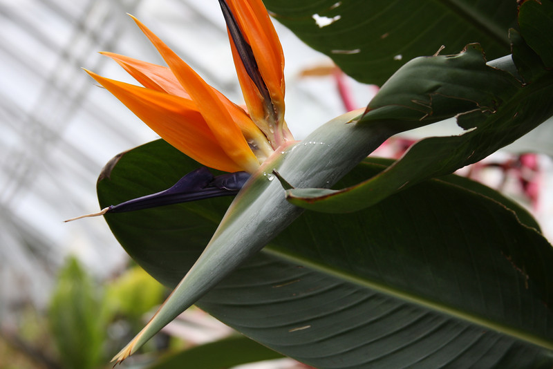 Bird of Paradise. Mark and I have the larger White Bird of Paradise in the back yard.