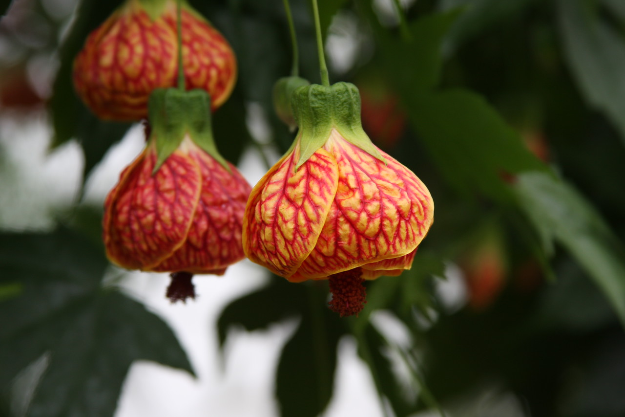 Pete, this one made me think of you. The common name is Chinese Lantern.