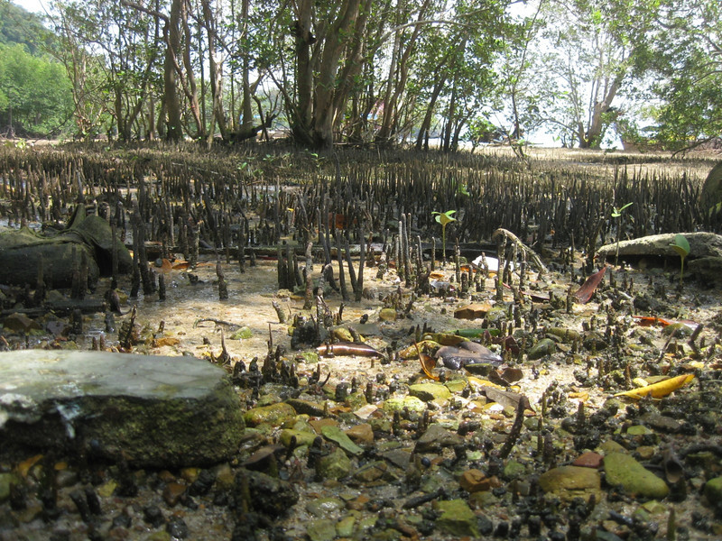 Mangrove trees during low tide