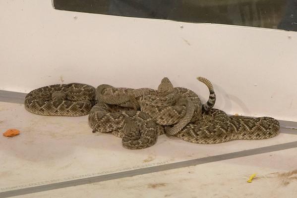 Rattlesnake Roundup Sweetwater Texas