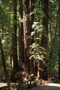 2008-08-12_Redwoods_023