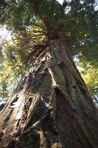 2008-08-12_Redwoods_015