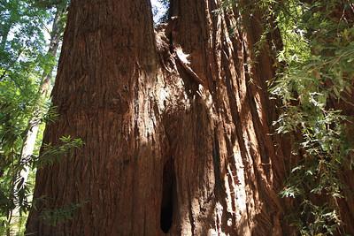 2008-08-12_Redwoods_031