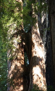 2008-08-13_Redwoods_028