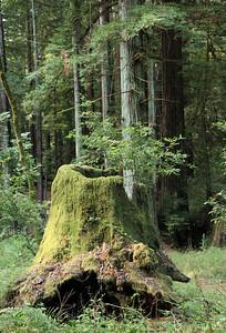 2008-08-13_Redwoods_002