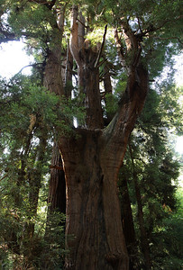 2008-08-13_Redwoods_009