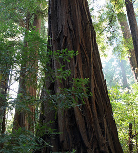 2008-08-13_Redwoods_034