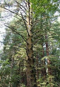 2008-08-13_Redwoods_004
