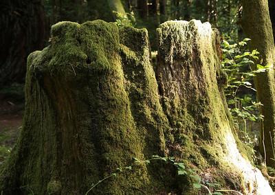 2008-08-13_Redwoods_006
