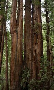 2008-08-14_Redwoods_049