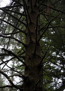 2008-08-14_Redwoods_015