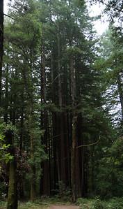 2008-08-14_Redwoods_017