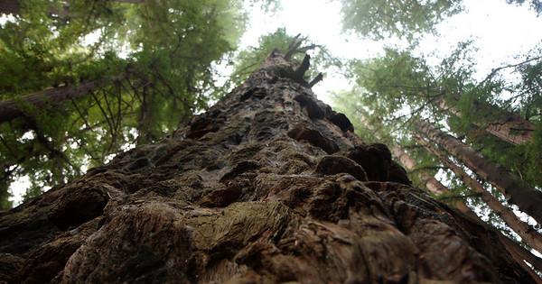 2008-08-14_Redwoods_051