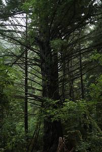 2008-08-14_Redwoods_018