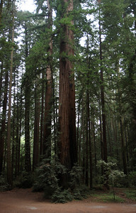 2008-08-14_Redwoods_041