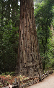 2008-08-14_Redwoods_044