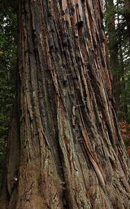 2008-08-14_Redwoods_046