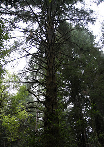 2008-08-14_Redwoods_014