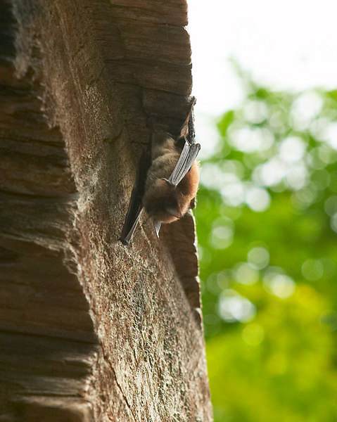 Little bat that was sleeping from this hollowed out redwood log near the gift store at the Immortal Tree location.
