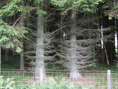Plantation pine trees :-(